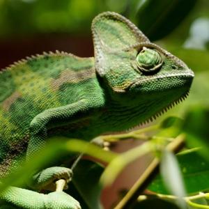 Zookoutek živě: chameleon